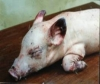 Salmonellosis in pigs
