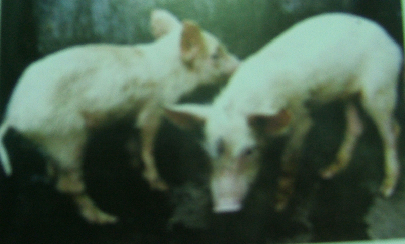 pig diseases and treatment pdf